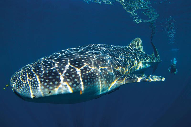Salah satu impian bagi diver adalah bertemu big animal. Dan Whale Shark di Cendrawasih Bay adalah jawabannya.